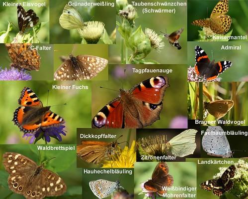 Schmetterlinge - fotografiert von Juli bis August 2015 im Ostallgäu/Unterallgäu.