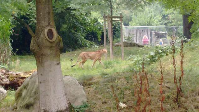 feines Gehege für die Geparden