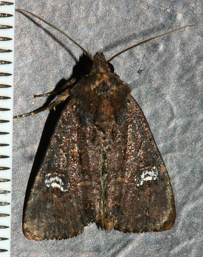 Common Rustic 2066
