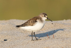 Semipalmated Sandpiper - female