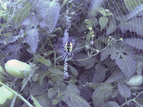 Spider in the Garden