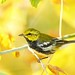 Black-throated green warbler by geno k