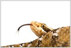 Snake - White/Black