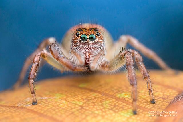 Jumping spider (Frigga cf. pratensis) - DSC_2918