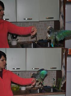 """Fig. 3. Il pappagallo """"Windy"""", nell'atto di atterrare sul braccio teso di mia moglie, in risposta ad uno stimolo visivo, ma soprattutto acustico"""