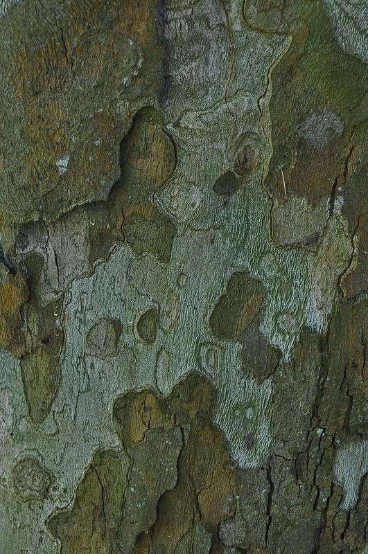 Platanus x acerifolia (2)