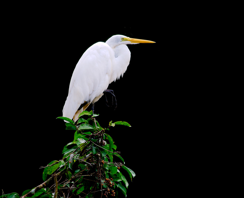 Great Egret (Ardea alba)_104