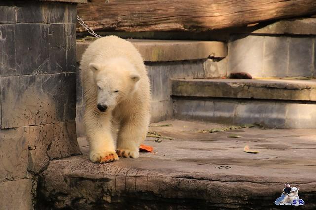 Eisbär Fiete im Zoo Rostock 26.09.2015   0373