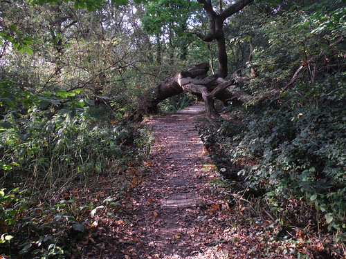 Boardwalk and Fallen Oak Tree in Lincewood