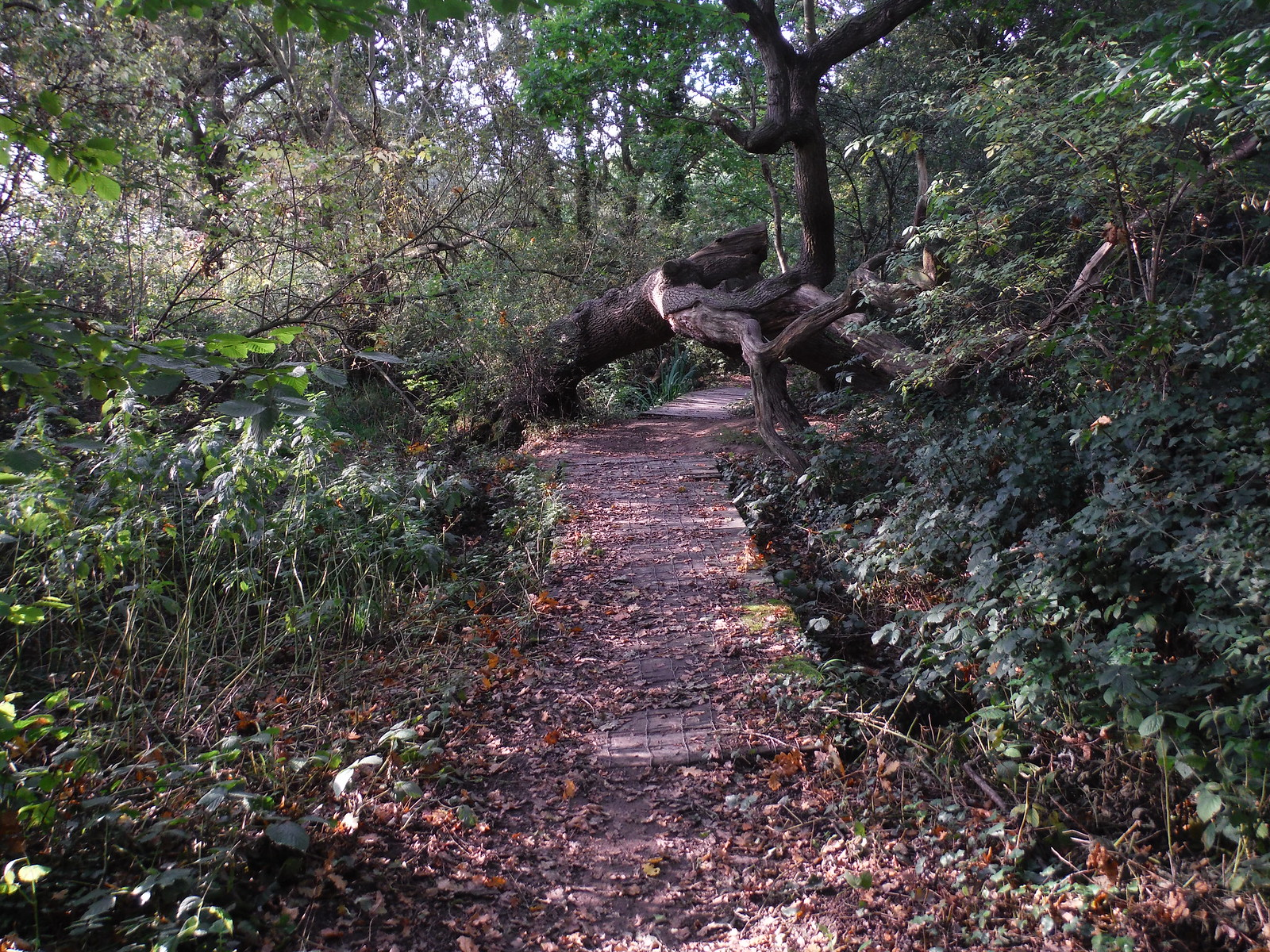 Boardwalk and Fallen Oak Tree in Lincewood SWC Walk 114 Laindon Circular