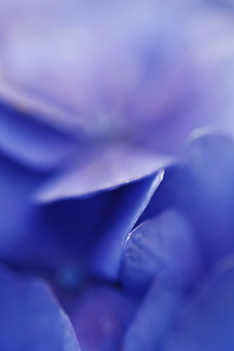 Hydrangea #01 [Macro Mondays : Blue] [Explored]