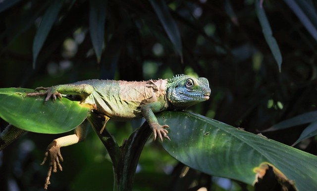 Thai water dragon bask in the sun to keep warm