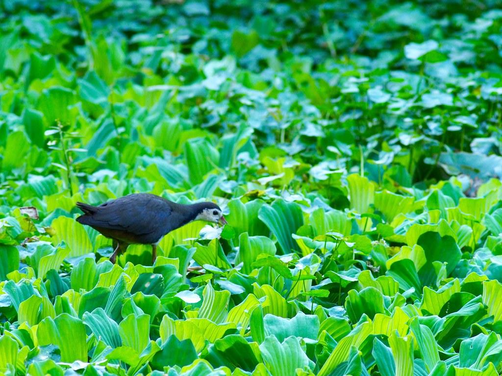 黃尾鴝,白腹秧雞