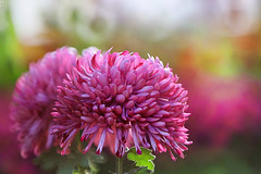 Autumn Chrysanthemum 秋菊
