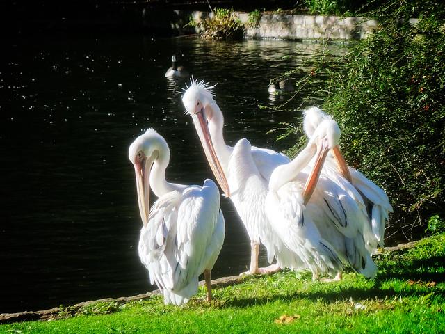 Pelicans in St James
