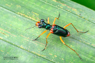 Tiger beetle (Therates dimidiatus) - DSC_0410