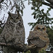 Great Horned Owls...#3 by Guy Lichter Photography - Thank you for 2.5M views
