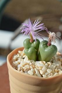 DSC_2137 Conophytum ficiforme Worcester f.Pink  コノフィツム フィキフォルメ ピンク花