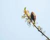Red Faced Crimsonwing, Cryptospiza reichenovii, Seldom Seen, Bvumba, Zimbabwe