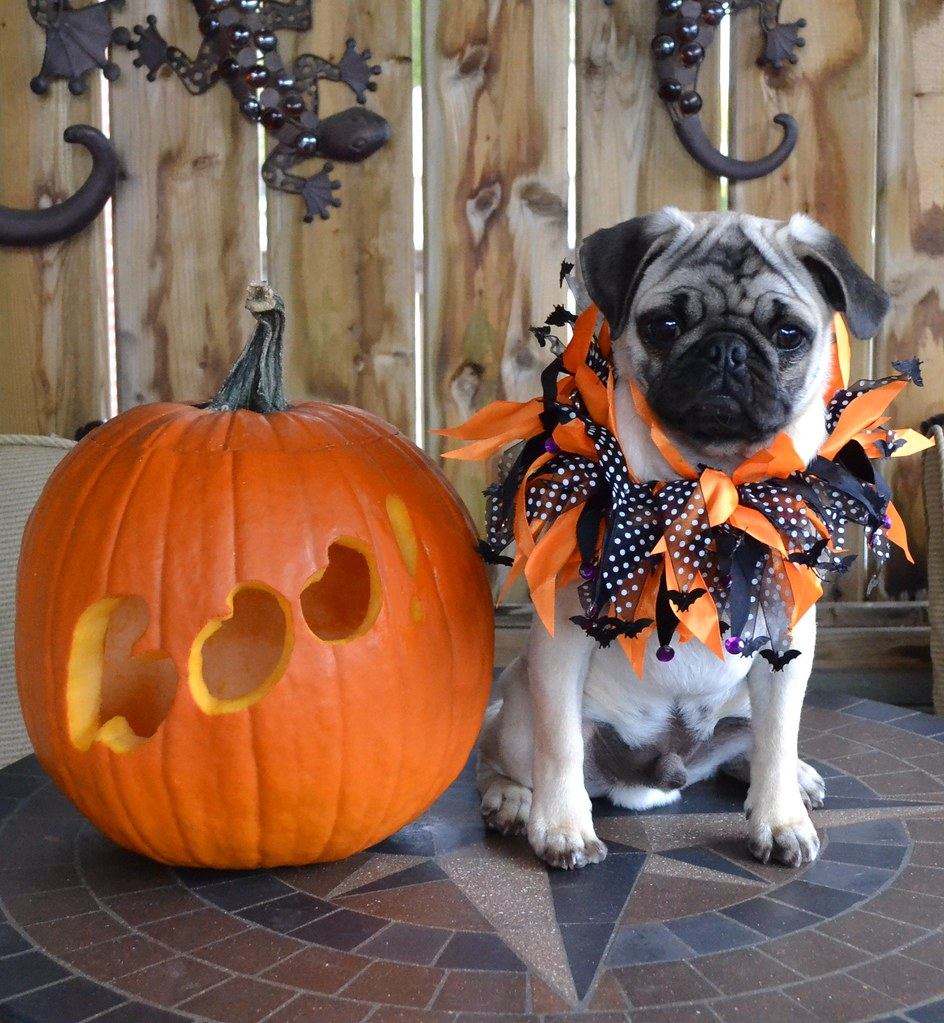 Boo The Pug And His Pumpkin