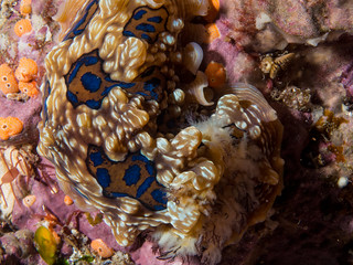 Gem Nudibranch