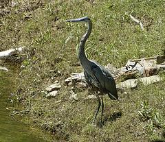 Heron at Gator Point (1)