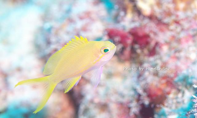 ニチリンさんの後にスミレナガハナダイの幼魚。美しい。