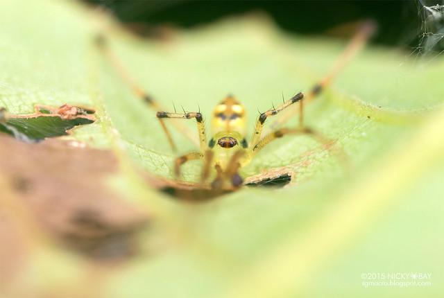 Mirror comb-footed spider (Thwaitesia sp.) - DSC_1557