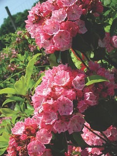 Research Farm Rhodie