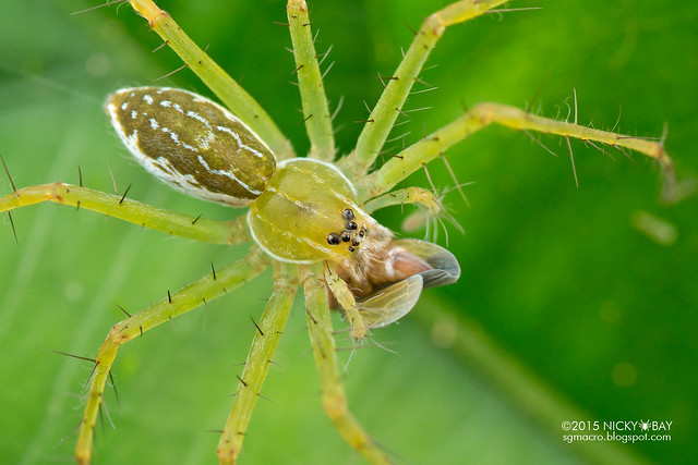 Nursery web spider (Thaumasia sp.) - DSC_8018