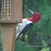 The Beautiful Red-headed Woodpecker by JKissnHug - Getting Back to Birding & Photography