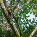 Pale-billed Woodpecker ( Campephilus guatemalensis ) by aeyuio