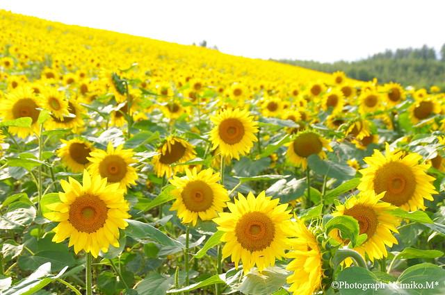 初秋・向日葵の丘1