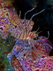 Stetson Banks Lionfish