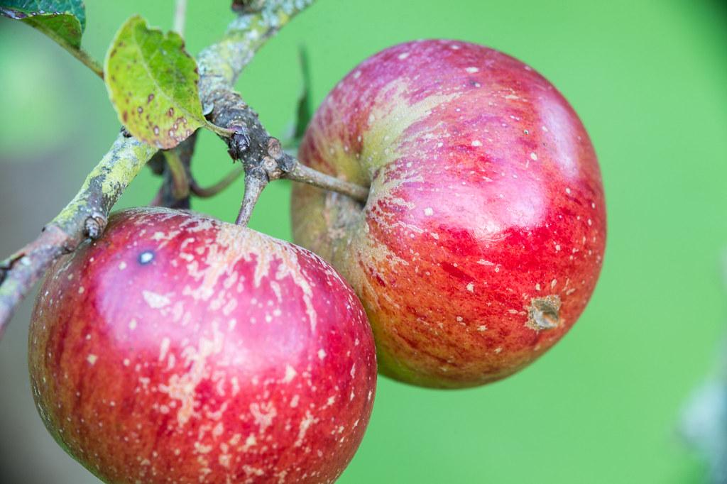 26 September 2015 - Apples Credit:© Natural England/Julian Dowse 26 September 2015
