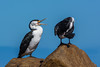 Pied and Black-Faced Cormorants by snuflor