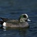 Small photo of American wigeon (Anas americana)