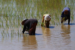Planting rice in Cambodia