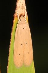 Palm Leaf Skeletonizer - Homaledra sabalella, Long Pine Key, Everglades National Park, Homestead, Florida