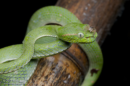 Trimeresurus hageni_MG_5388 copy