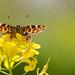 Landkaartje - Map Butterfly - Araschina levana by wimzilver