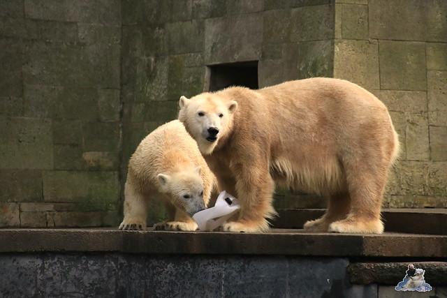 Eisbär Fiete im Zoo Rostock 13.12.2015  91