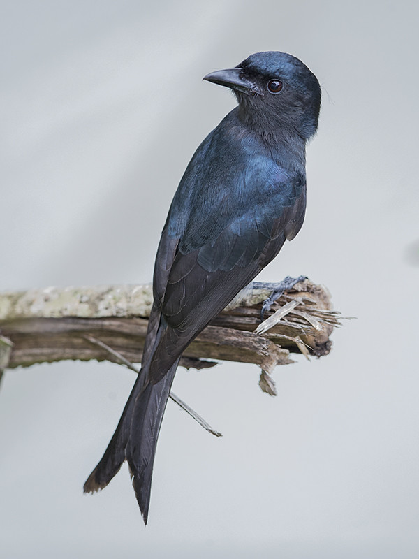 White-bellied Drongo    Sri Lanka
