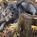 Happy Growloween! ( says the Wolf ! ) by NicoleW0000