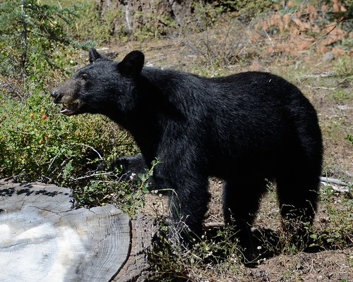 Black Bear Eating Gooseberries