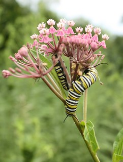 2015-8-15. Swamp milkweed with caterpillars