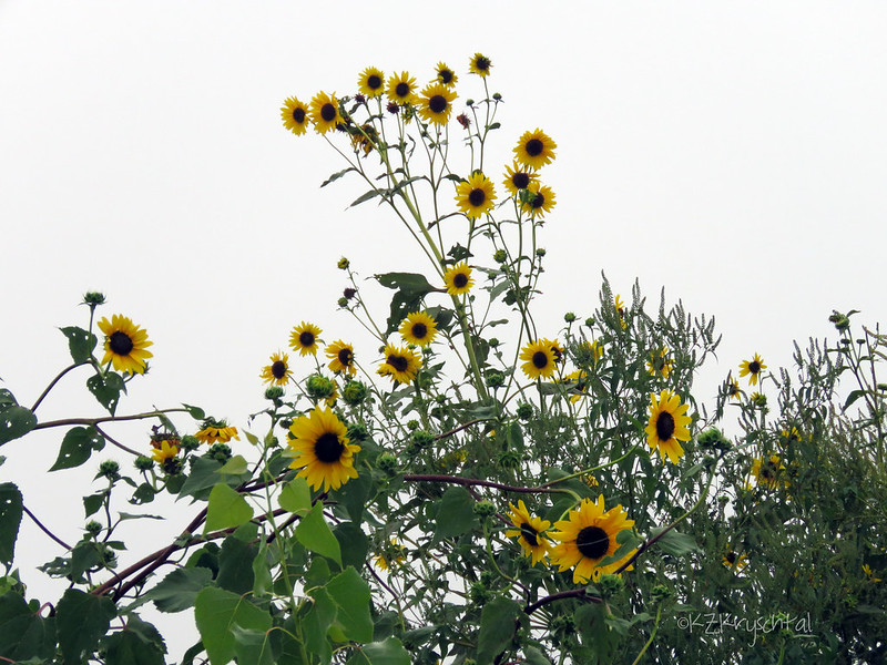 IMG_1481Sunflowers