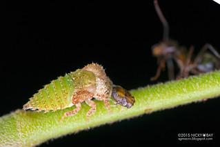 Treehopper nymph (Heteronotinae) - DSC_2623