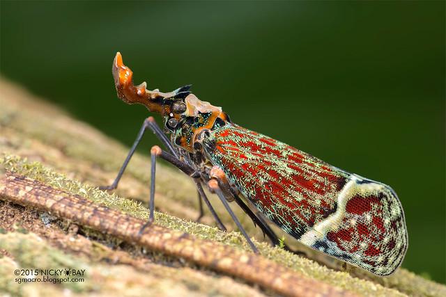 Dragon-head lantern bug (Phrictus quinqueparitus) - DSC_9128