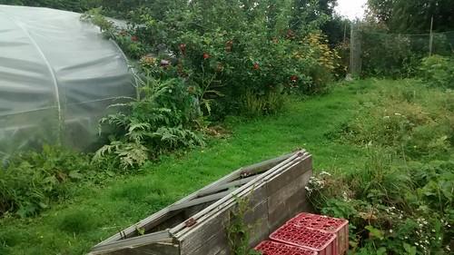 High Spen Hop Garden Aug 15 (1)